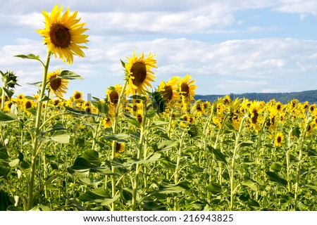 Sunflowers field in tuscan contryside in summer - stock photo