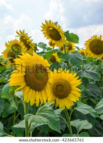Sunflowers. Field of sunflowers on a background of the sky