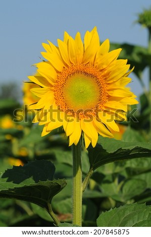 Sunflowers field/Sunflowers field - stock photo