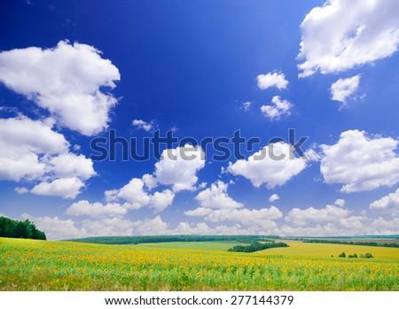 Sunflowers field under blue sky - stock photo