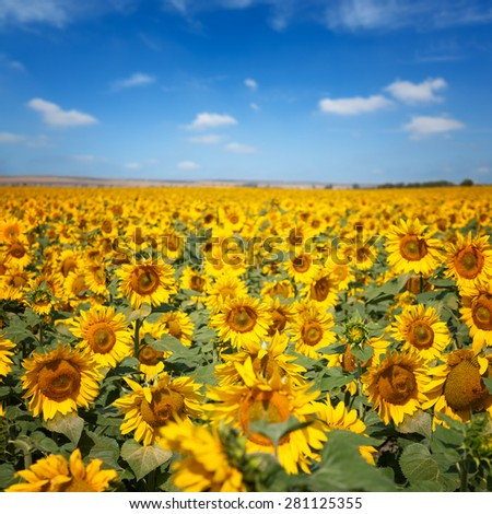 Sunflowers field under blue sky with clouds - stock photo