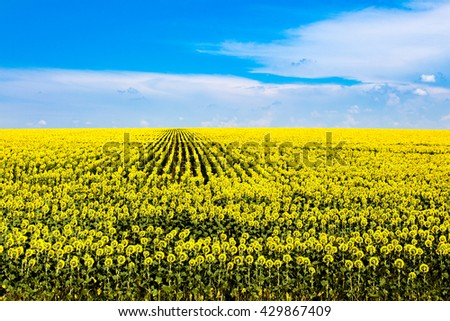 Sunflowers field under the blue sky with clouds. Ukraine, Europe.