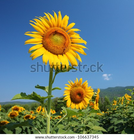 sunflowers filed. - stock photo