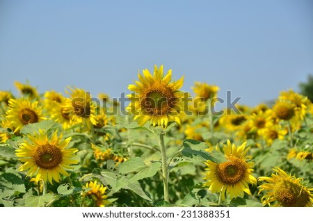 sunflowers floral yellow background green nature summer