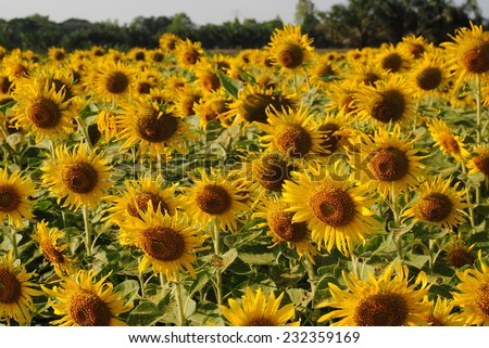sunflowers flowers yellow green background wallpaper - stock photo