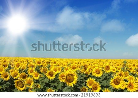 Sunflowers group on blue Sky - stock photo