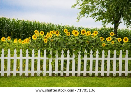 Sunflowers growing behind a decorative white picket fence