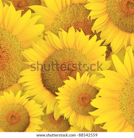 sunflowers head background