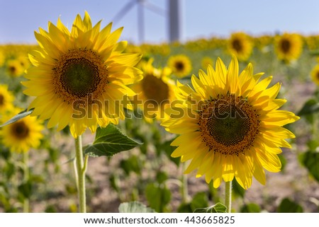 Sunflowers in a crop field, with windmills at background