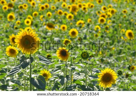 Sunflowers in a field of sunflowers - stock photo
