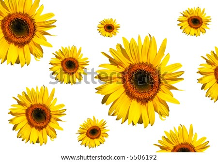 Sunflowers in full bloom, against a white background. - stock photo