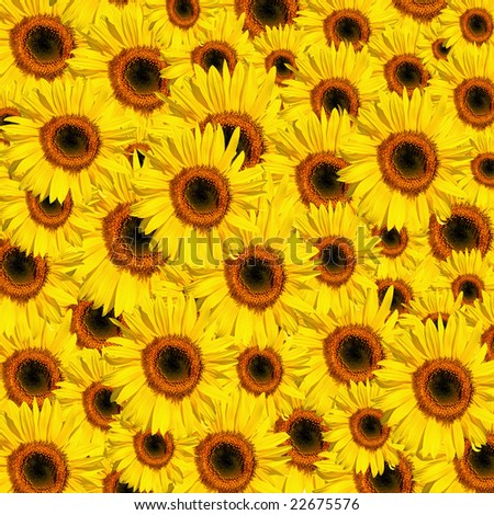 Sunflowers in full bloom in summer forming a background. - stock photo