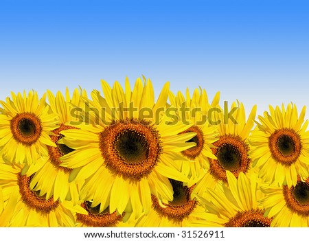 Sunflowers in full bloom set against a blue sky background. - stock photo