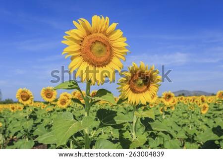 sunflowers in summer - stock photo