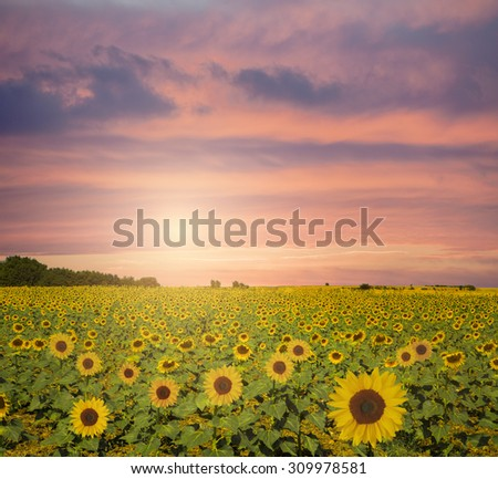 Sunflowers in sunset - stock photo