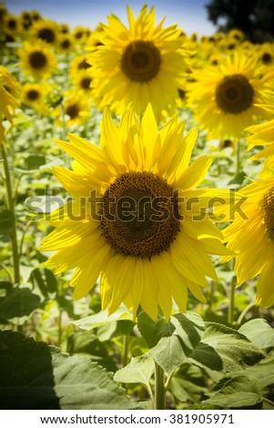 Sunflowers in sunshine  - stock photo