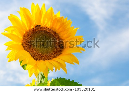 Sunflowers in the field against blue sky - stock photo