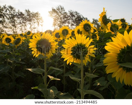 Sunflowers in the field. Back sides against the sun. Some trees. Summer time. Sky, morning light. - stock photo