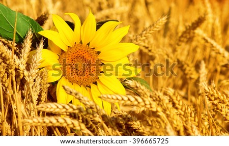 sunflowers in the field of wheat - stock photo