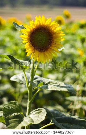 sunflowers in the foreground with shallow focus - stock photo