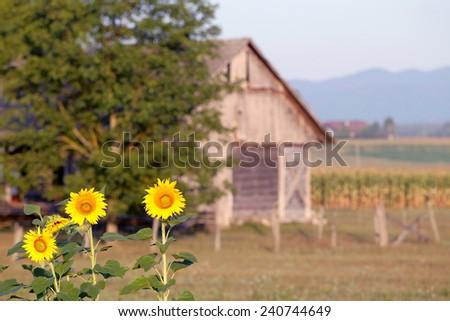 Sunflowers in the remote farm, Slovenia - stock photo
