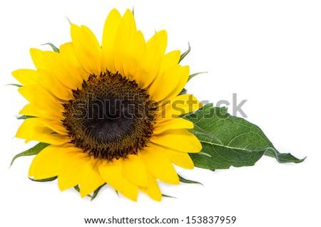 Sunflowers isolated on white background - stock photo