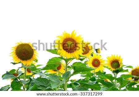 Sunflowers isolated on white background. - stock photo