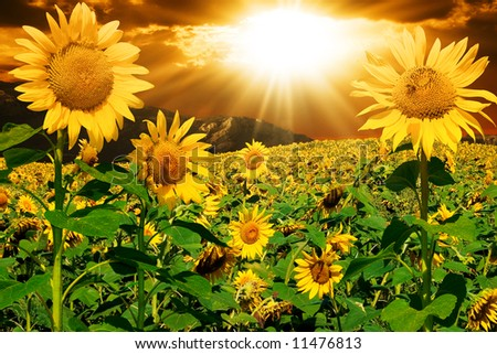 Sunflowers on a background of magic sky - stock photo