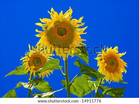 Sunflowers on a background of the blue sky