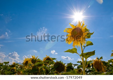 Sunflowers on a bright sunny summer day - stock photo