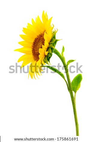 sunflowers on a white background - stock photo