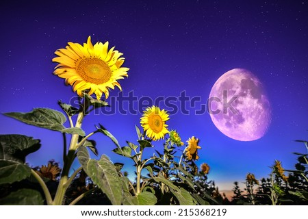 Sunflowers on night - with stars sky and stars and moon - stock photo