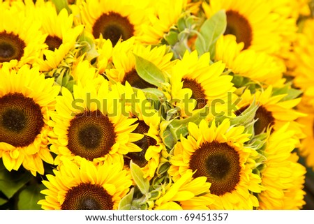 Sunflowers on sale at local farmer's market. - stock photo