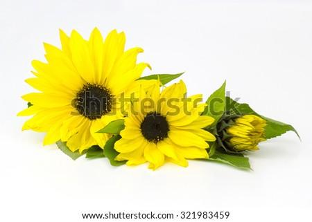 sunflowers on white background (Helianthus) - stock photo