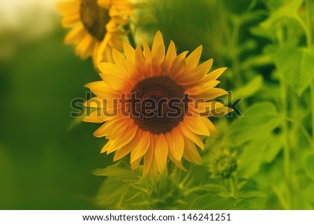 sunflowers outdoor - stock photo