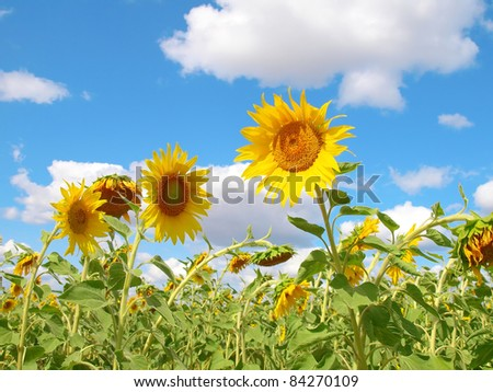 Sunflowers over blue sky with clouds. Shallow DOF. - stock photo