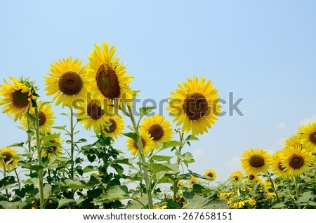 sunflowers sky green nature yellow summer beauty plant sun wall background landscape blue sunny texture