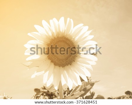 Sunflowers,Sunflowers blooming against a bright sky,Sunflowers,Sunflowers blooming ,beautiful sunflowers,big sunflowers , flowers,yellows flowers - stock photo