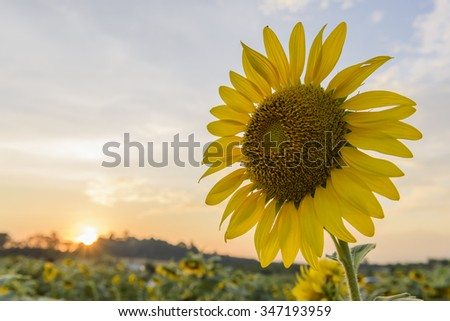 Sunflowers,Sunflowers blooming on the morning time,Sunflowers fresh, beautiful sunflowers,Bright sunflowers on the sunset background  - stock photo