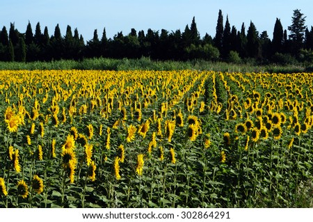 Sunflowers turning towards the sun. - stock photo