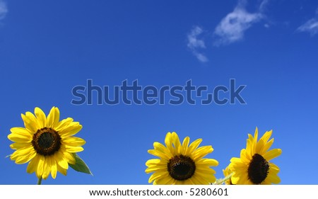 Sunflowers under beautiful blue sky - stock photo
