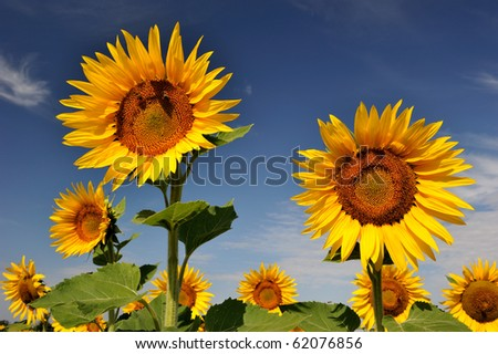 Sunflowers under blue sky of Provence