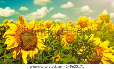 Sunflowers under the blue sky. beautiful rural scene - stock photo