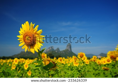 Sunflowers with Blue Sky Backgrounds