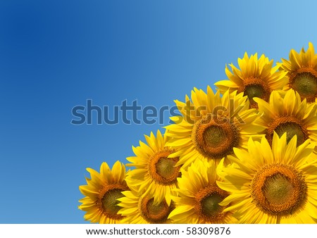 Sunflowers with clean blue sky - stock photo