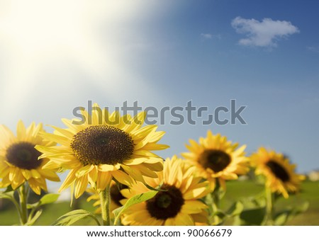 Sunflowers with sun and blue sky - stock photo