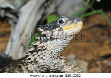 Sungazer watching (Cordylus giganteus) - stock photo