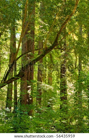 Sunglow of Redwood Grove