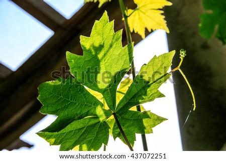 Sunlight cast through vine leaves with pergola and sky in the background - stock photo