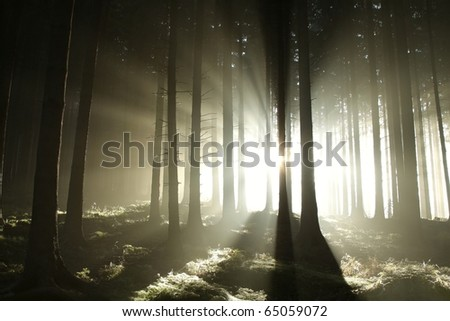 Sunlight entering coniferous stand on a misty autumnal morning. - stock photo